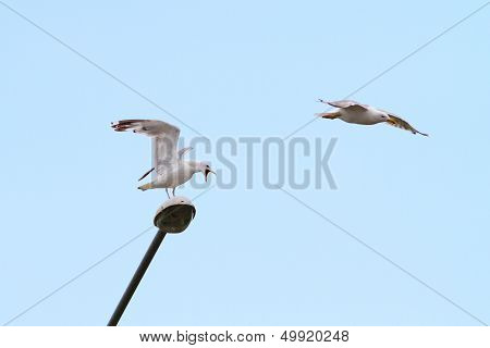 Gulls Fighting For Lamppost