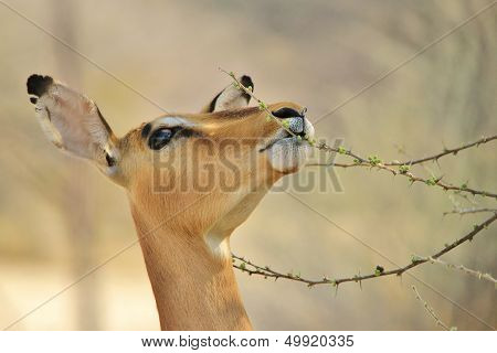 Impala - Wildlife Background from Africa - Surviving in Nature