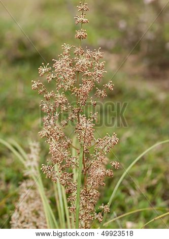 Australian Native Grass Plant Lomandra Multiflora Matrush