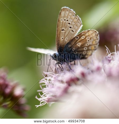 Common Blue - Lycaenidae
