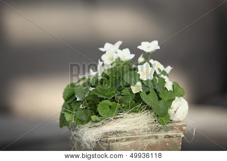 White Violets Growing In A Container