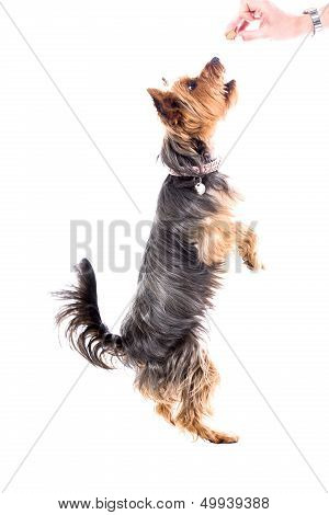 Yorkshire Terrier Begging