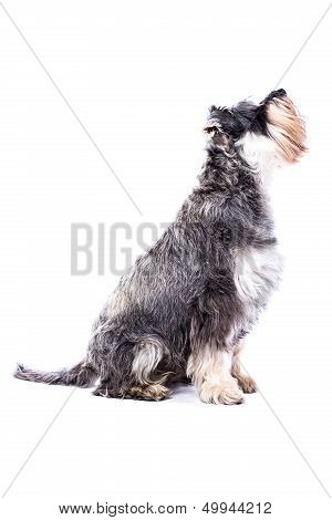 Side View Of An Adult Schnauzer Dog