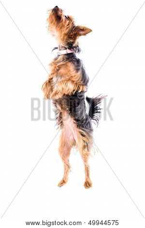 Agile Little Yorkie Or Yorkshire Terrier
