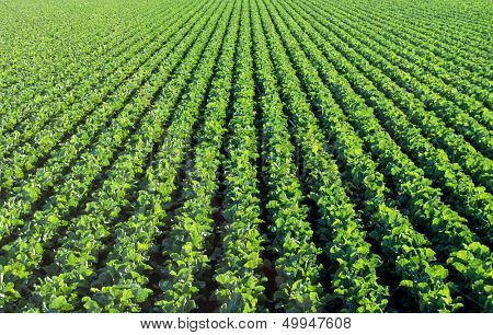 The rich green agricultural fields in California before the harvest