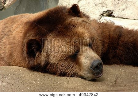 Brown bear taking a nap on a rock ledge