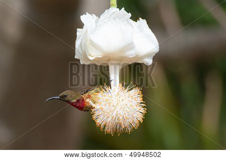 Young Scarlet-chested Sunbird On Baobab Flower