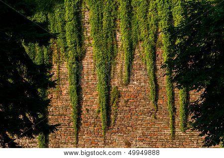 Brickwall With Climber Plant