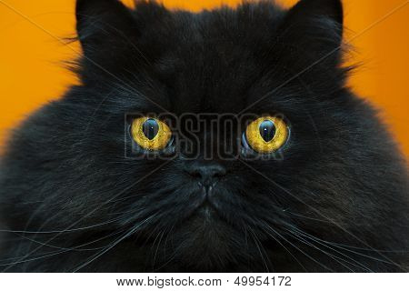 Frightened Black Male Cat At Orange Background