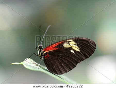 Closeup of a Doris Longwing butterfly resting on a leaf