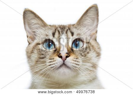 blue eyed cat head