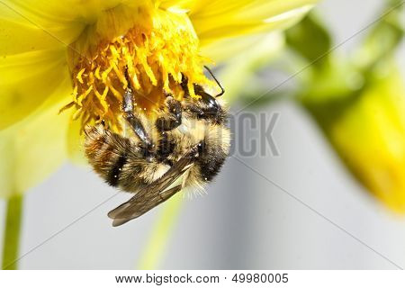 Close up on a honeybee sitting on wild flower