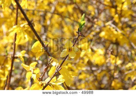 Bright Forsythia Flowers In Spring