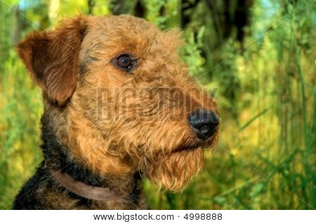 Airedale Terrier Profile Portrait