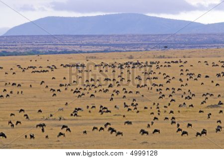 Wildebeest Migration Through Masai Mara Kenya