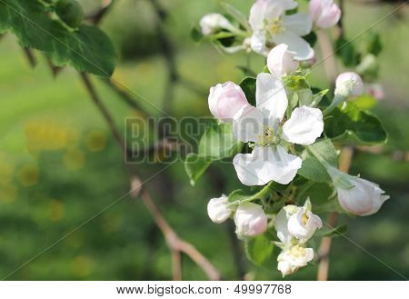 Blossoming Of Appletree. Several Flowers Of Blooming Apple
