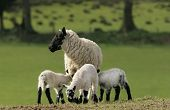 stock photo of baby animal  - sheep standing in a field in spring surrounded by three white and black speckled new born lambs with two of the lambs sucking milk from her breast - JPG