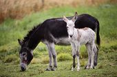 stock photo of donkey  - Newborn Donkey with his mother in the field - JPG