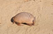 picture of armadillo  - Armadillo Searching for food on the wild beach in South of Patagonia in Argentina - JPG
