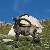 Alpine Ibex Scratching Himself