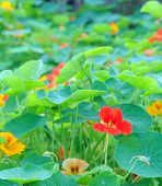 stock photo of nasturtium  - Trapaeolum majus or garden nasturtium shallow depth of field - JPG
