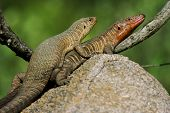 stock photo of giant lizard  - A pair of Giant Plated Lizards mating in the Kruger National Park - JPG