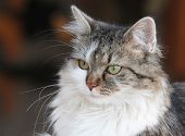 stock photo of pussy  - beautiful cat - JPG