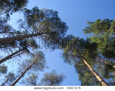 Trunks And Crones Of Pines