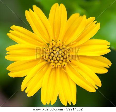 Compositae Flower Closeup