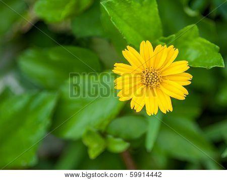 Compositae Flower