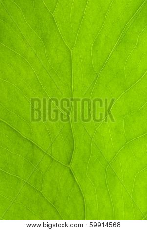 Elephant Ear Leaf Texture