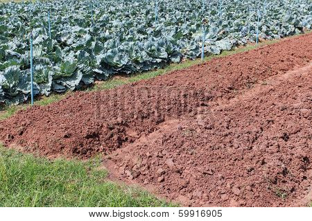 Field Cultivate Cabbage.