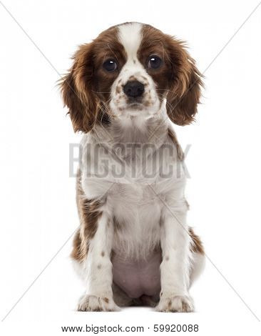 Front view of a Cavalier King Charles Spaniel puppy sitting, looking at the camera, 3 months old, isolated on white