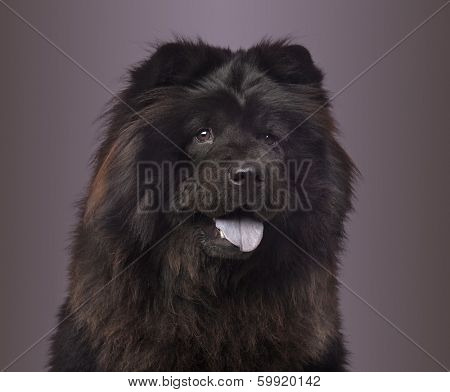 Close-up of a Chow Chow panting on a colored background, 3 years old