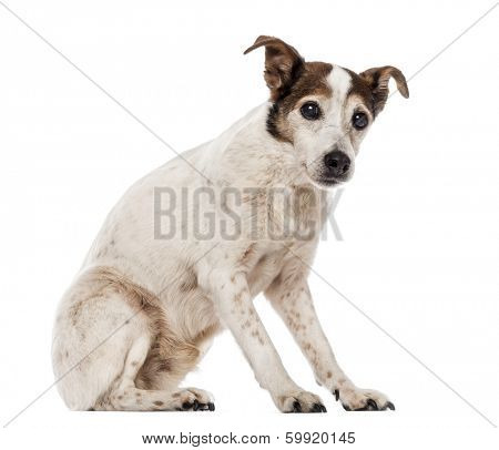 Old Jack Russell Terrier sitting, looking at the camera, 17 years old, isolated on white