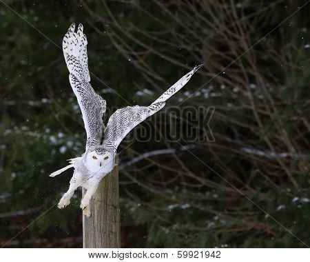 Snowy Owl Take-off