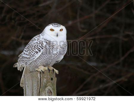 Stationary Snowy Owl