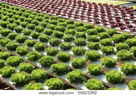 Farm Of Hydroponic Plantation