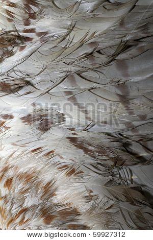 Buteo Plumage