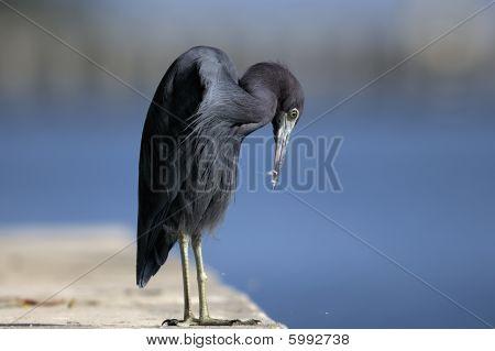 Egretta Caerulea, Little Blue Heron