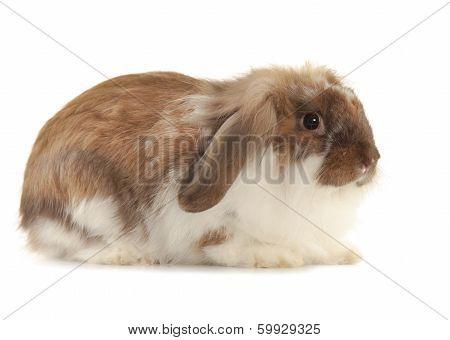 Rabbit Angora Isolated On White Background