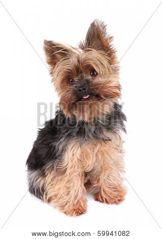 Yorkshire Terrier in front on white background , 2 old