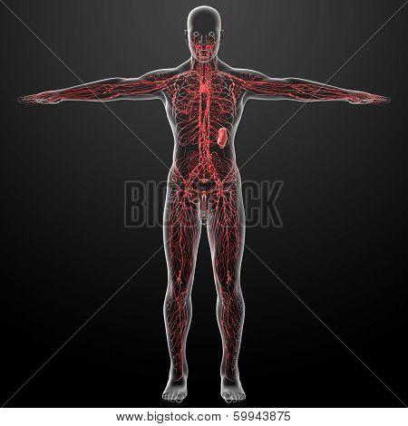 3d render lymphatic system