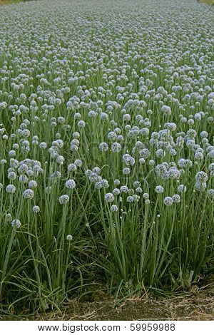 Flowers Of Onion, Allium Cepa, India