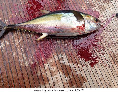 Bloody YellowFin Tuna
