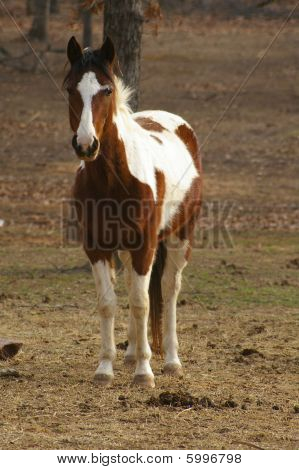Brown & White Paint Horse