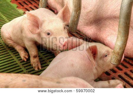 Momma Pig Feeding Baby Pigs