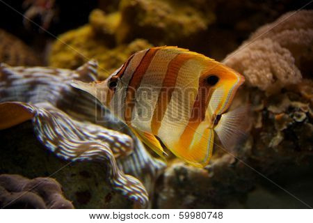 Copperband butterflyfish swimming upwards through coral reef