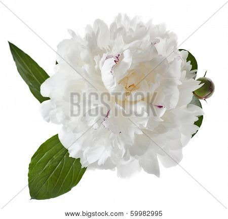 white peony isolated on white background