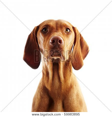Hungarian Vizsla pointer dog on white background